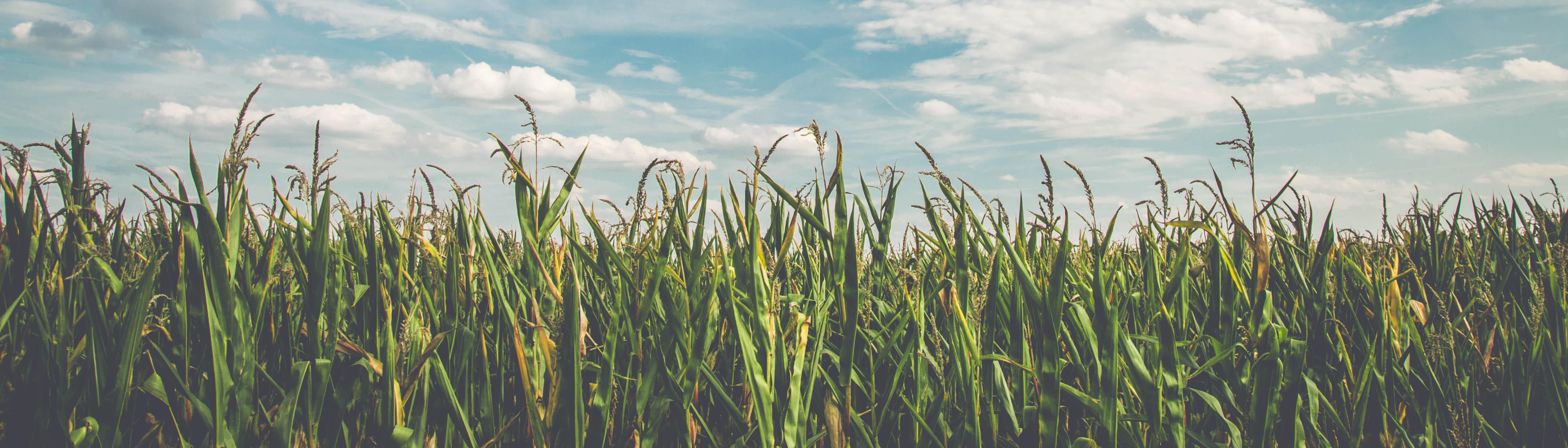 Maïs avant la récolte parallax